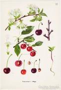 Meggy, színes nyomat 1961, növény, gyümölcs, virág
