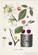 Cseresznye, színes nyomat 1961, növény, gyümölcs, virág