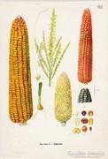 Kukorica, színes nyomat 1961, növény, zöldség