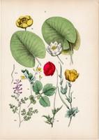 Fehér tündérrózsa, sárga vízitök, pipacs, vérehulló fecskefű litográfia 1884, német, növény, virág