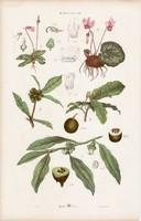 Ciklámen, achras, datolyaszilva és gyűszűvirág, gloxínia, litográfia 1885, eredeti, 26 x 42 cm, nagy