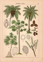 Pálma, csavarpálma és perje, litográfia 1885, 21 x 30 cm, eredeti, színes nyomat, növény, fa, virág