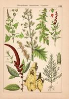 Libatop, disznóparéj, keserűfű és farkashárs, babér, ezüstfa, litográfia 1885, 21 x 30 cm, eredeti