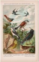 Énekes madarak IV., litográfia 1895, színes nyomat, német nyelvű, Brockhaus, állat, madár, régi