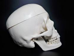 Koponya , anatómiai szemléltető eszköz