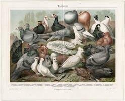 Galambok, litográfia 1896, német nyelvű, eredeti nyomat, madár, házi, galamb