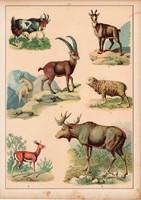 Jávorszarvas, kecske, gazella, juh, zerge, litográfia 1880, eredeti, 24 x 34 cm, nagy méret, állat