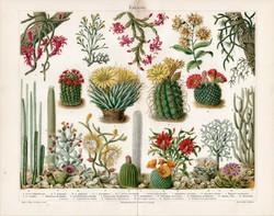 Kaktuszok, színes nyomat 1906, német, litográfia, eredeti, növény, virág, kaktusz, tunakaktusz