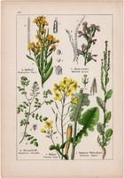 Mustár, sárgaviola és kakukktorma, kányazsombor, kopasz toronyszál, litográfia 1895, 17 x 25 cm