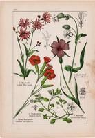 Kakukkszegfű, konkoly és tea, házi len, csermelyciprus, litográfia 1895, 17 x 25 cm, növény, virág
