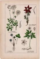 Borkóró, kökörcsin, májvirág és tündérrózsa, iszalag, sóskaborbolya, litográfia 1895, 17 x 25 cm