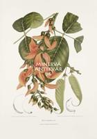 Vintage antik botanikai illusztráció - Papagájfa, Malabár-lakkfa. Kitűnő minőségű reprint nyomat