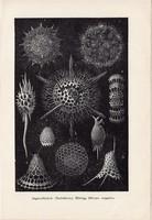 Sugárállatkák, nyomat 1907, eredeti, magyar, Brehm, állat, óceán, tenger, 300-szoros nagyítás