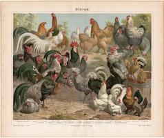 Tyúkok, színes nyomat 1888, német nyelvű, litográfia, eredeti, tyúk, fajta, madár, kakas, olasz