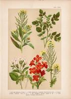Magyar növények 43, litográfia 1903, színes nyomat, virág retek, kakuktorma, repcsény, borbálafű (3)