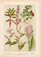 Magyar növények 25, litográfia 1903, színes nyomat, virág, áfonya, keserűfű, boroszlán, pohánka (3)