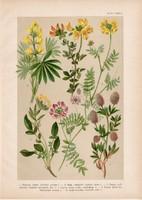 Magyar növények 47, litográfia 1903, színes nyomat, virág, csillagfürt, patkóczím, koronilla (3)