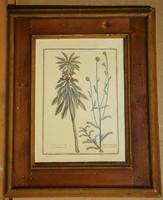 Ismeretlen (20.sz.első fele) : Botanikai rajz
