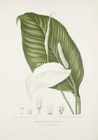 Vintage antik botanikai illusztráció - Vitorlavirág. Kitűnő minőségű reprint nyomat