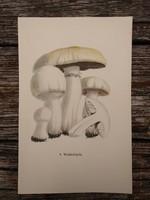 Erdőszélo csiperke és Ráncos fenyőgomba lithográfai, nyomat, GOMBA