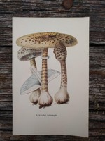 Nagy őzlábgomba Macrolepiota procera és Lila tölcsérpereszke Lepista nuda lithográfai, nyomat, GOMBA