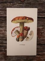 Vörös érdestinóru és Farkastinóru lithográfia, nyomat, GOMBA