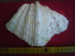 Csigák, kagylók - Tengeri kagyló - Tridacna gigas 16 X 10 X 5