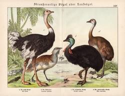 Túzok, sisakos kazuár, strucc, nandu, litográfia 1886, eredeti, 32 x 41 cm, nagy méret, madár