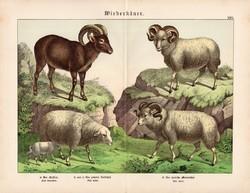 Juh és muflon, litográfia 1886, német nyelvű, eredeti, 32 x 41 cm, nagy méret, patások, birka
