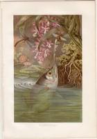 Jávai lövőhal, litográfia 1883, színes nyomat, eredeti, Brehm, Thierleben, állat, hal, Ázsia