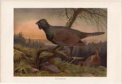 Siketfajd, litográfia 1883, színes nyomat, eredeti, Brehm, Thierleben, állat, madár, Európa, Ázsia