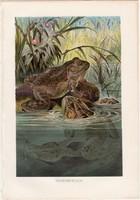 Kecskebéka, litográfia 1883, színes nyomat, eredeti, Brehm, Thierleben, német, állat, béka, kétéltű
