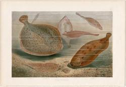 Félszegúszók, litográfia 1883, színes nyomat, eredeti, Brehm, Thierleben, állat, hal, nyelvhal óceán