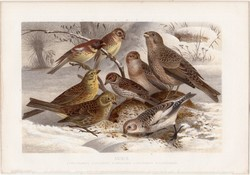 Sármány, litográfia 1882, színes nyomat, eredeti, Brehm, Thierleben, állat, madár, citromsármány