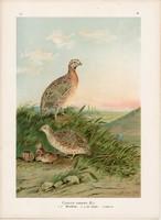 Fürj, litográfia 1897, eredeti, 29 x 39 cm, nagy méret, madár, színes nyomat, Európa, coturnix