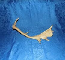 Dámszarvas dámvad agancs trófea 55 cm