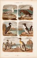Rablósirály, halfarkas, pingvin és pelikán, kárókatona, litográfia 1885, eredeti, 26 x 42 cm, madár