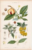 Borbolya, benthamia, szerecsendió és tündérrózsa, litográfia 1885, eredeti, 26 x 42 cm, növény