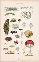 Gomba, csiperke, kovamoszat és alga, zöldmoszat, litográfia 1885, eredeti, 26 x 42 cm, nagy méret