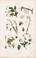 Harangvirág, styrax, fenyőspárga és menyecskeszem, lobélia, litográfia 1885, eredeti, 26 x 42 cm