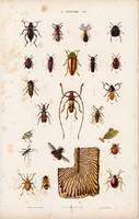 Bogár, mogyoróbogár bűzbogár és hangya, hangyaboly, litográfia 1885, eredeti, 26 x 42 cm, állat