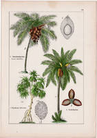 Kókuszpálma, datolyapálma, csavarpálma és buritipálma, rattanpálma, litográfia 1895, 17 x 25 cm