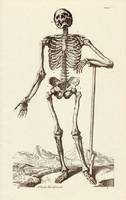 Az ember csontváza 1., anatómia, csontváz, egyszín nyomat 1978, 28 x 44 cm, nagy méret, fakszimile