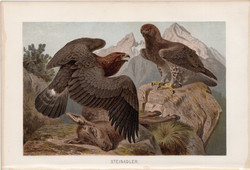 Kőszáli sas, litográfia 1894, színes nyomat, eredeti, német, Brehm, állat, madár, szirti, Európa