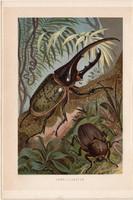 Herkulesbogár, litográfia 1894, színes nyomat, eredeti, német, Brehm, állat, bogár, Amerika, óriás