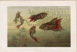 Kínai paradicsomhal, litográfia 1894, színes nyomat, eredeti, német, Brehm, állat, hal, folyó, víz