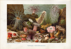 Tengeri kökörcsinek, litográfia 1907, színes nyomat, eredeti, magyar, Brehm, állat, anemona, tenger
