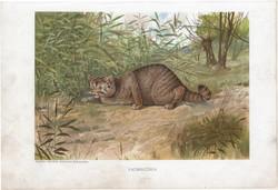 Vadmacska, litográfia 1907, színes nyomat, eredeti, magyar, Brehm, állat, ragadozó, Európa, Ázsia