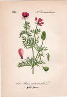 Hérics, litográfia 1882, eredeti, kis méret, színes nyomat, növény, virág, Adonis autumnalis