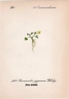 Ranunculus pygmaeus, litográfia 1882, eredeti, kis méret, színes nyomat, növény, virág, boglárka